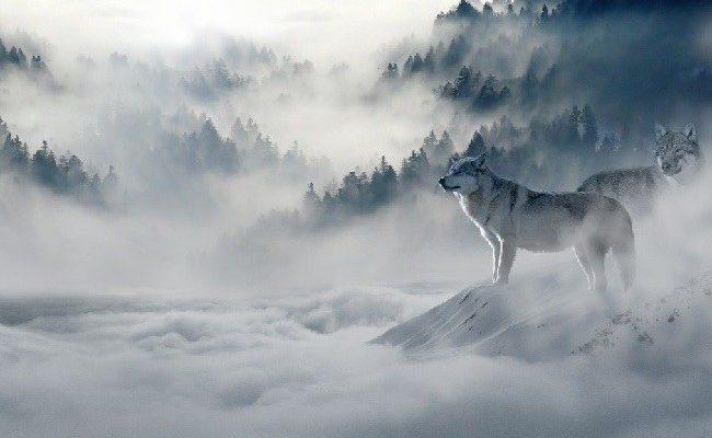 freddo wolf